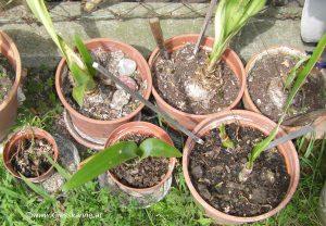 Amaryllis Ritterstern im Sommer