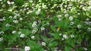 Blüte Bärlauch im Wald
