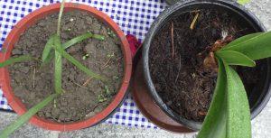 Ritterstern Amaryllis jung und alt