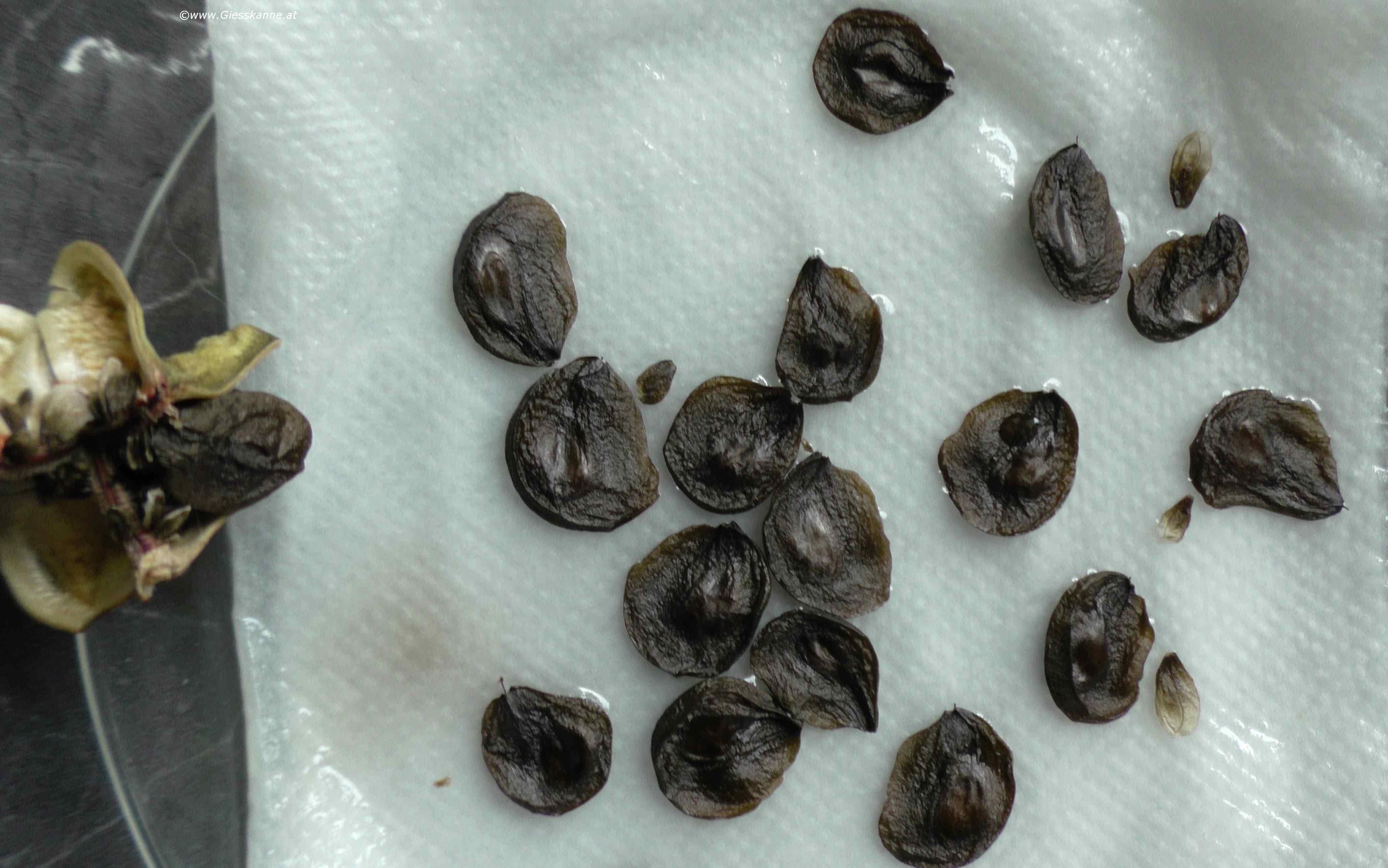 Amaryllis-Ritterstern Mit Samen Vermehren