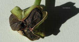 Ritterstern Amaryllis Samenkapsel