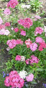 Nelken rosa und weiß
