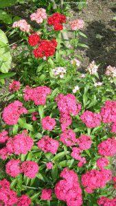 Nelken rosa und rot