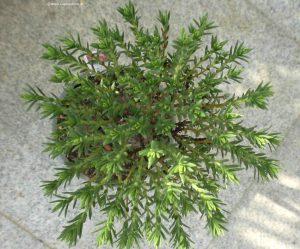 Crassula sarcocaulis von oben