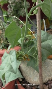 Gerrardanthus macrorhizus mit Blüten, Juni