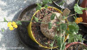 Momordica boivini Blüten Ende Juni