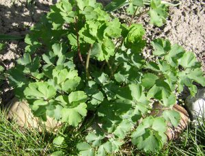 Akelei Austrieb Blätter Anfang April