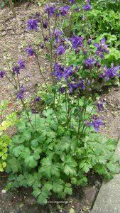 Akelei mit Blüten Blau-Violett