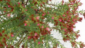 Crassula Sarcocaulis mit Blüten