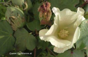 Blüte Baumwolle weiß