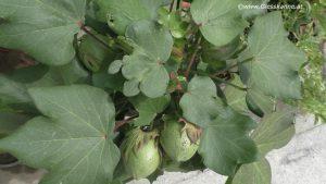 Baumwollpflanze im September