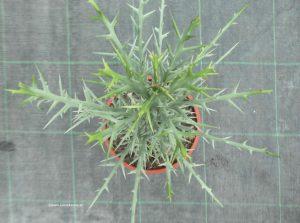 Euphorbia stenoclada von oben