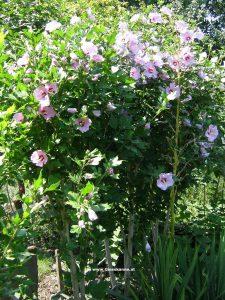 Hibiskus - Gartenhibiskus