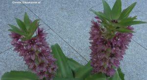 Blüten Schopflilie