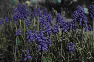 Traubenhyazinthen blau-violett