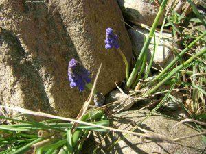 Traubenhyazinthen zwischen Steinen