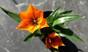 Ornithogalum dubium - Orangefarbener Milchstern