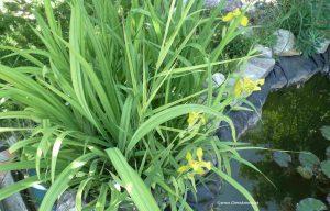 Sumpf-Schwertlilien im Mai