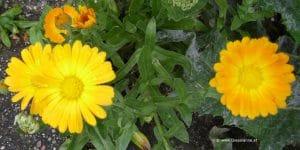 Blüten Ringelblume