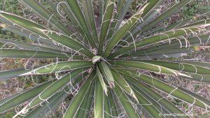 Yucca carnerosana Blätter mit Fasern