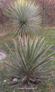 Yucca carnerosana, Yucca rostrata