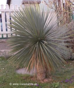 Yucca rostrata im März