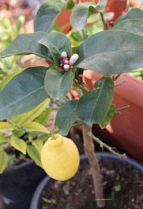 Zitrone reif und Zitronenblüten