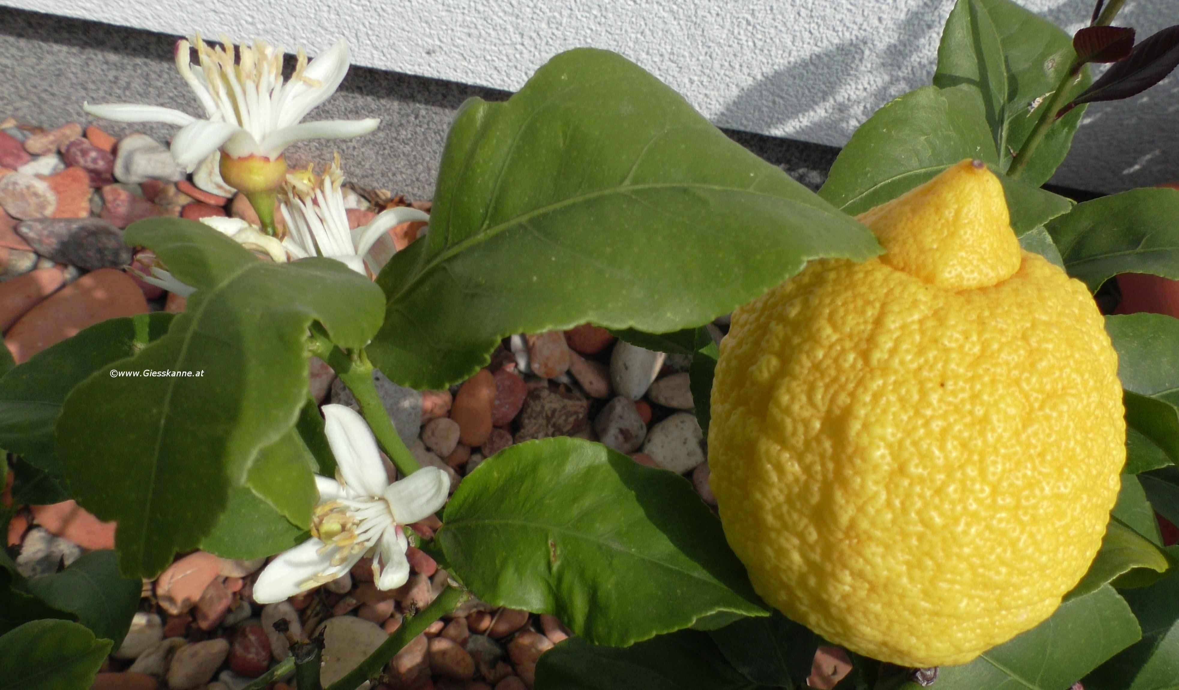 Zitronenblüte im Mai