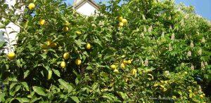 Zitronenbaum und Kastanienblüte auf Cres