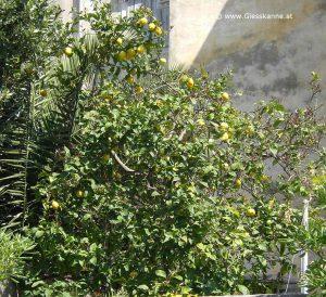 Zitronen im Garten in Losinj
