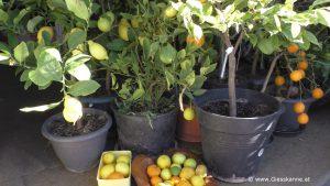 Zitronen und Orangen Ernte in Garage - März