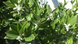 Blüte Zitrusbäume im August