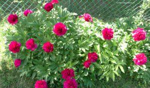 Blüten Bauern-Pfingstrosen