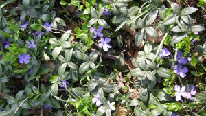 Kleines Immergrün mit Blüten
