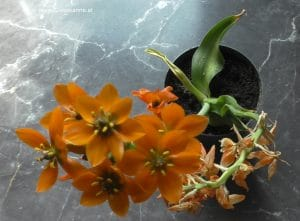 Ornithogalum dubium vor Einziehen im April