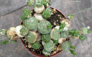 Euphorbia globosa frischer Austrieb