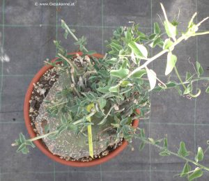 Adenia spinosa mit Blättern
