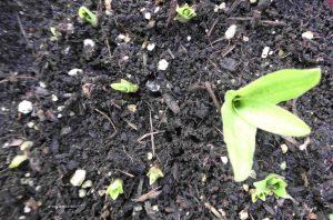 Austrieb Schopflilie im Juni