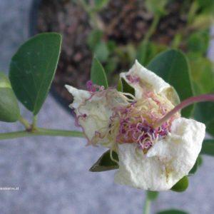 Kapern - vor Blüte und verblüht