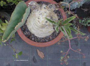 Cyphostemma juttae Kaudex, Blätter und Beeren