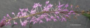 Blütenstand Stenoglottis longifolia