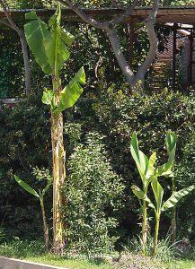 Bananen auf Losinj