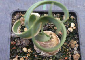 Cyrtanthus spiralis von oben