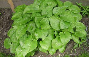 Funkie - Hosta - Herzblattlilie im Frühling