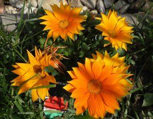 Gazanie - Mittagsgold - Mittagsblume