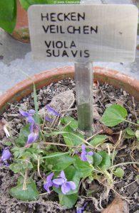 Hecken-Veilchen - Viola suavis