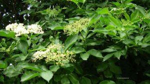 Holler Blüte