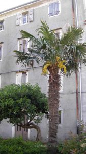 Blühende Palme auf Cres