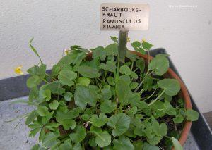 Scharbockskraut