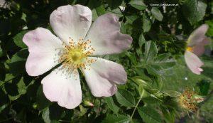 Blüte Wildrose
